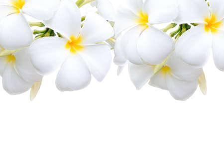 Plumeria flowers isolated on white background. Imagens