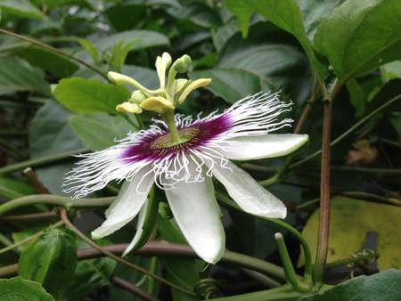 passiflora: Purple white Passiflora flowers