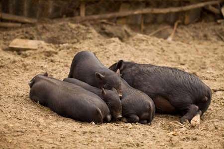 Five pigs have a rest after a dinner Stock Photo