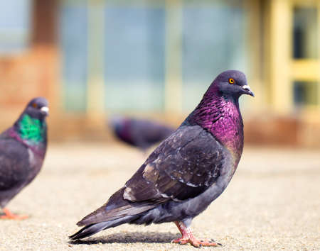 Very beautiful and proud pigeon walking on the street Stock Photo - 18904104