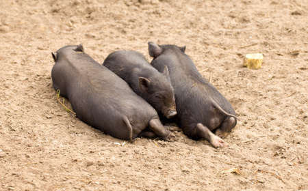 Three little pigs from the one family are sleeping on the ground