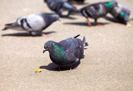 Group of pigeons walking down the street and looking for food Stock Photo
