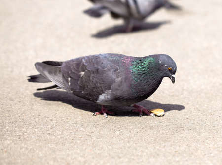 The  pigeon walking down the street and looking for food Stock Photo