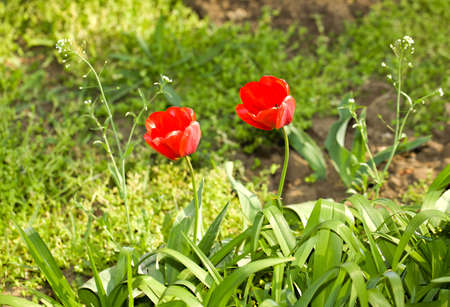 Pair of tulips together as lovers, in the grass