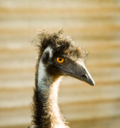 A young ostrich with funny hair thoughtfully looking at us and it is very funny Stock Photo