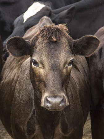brown cow close up photo