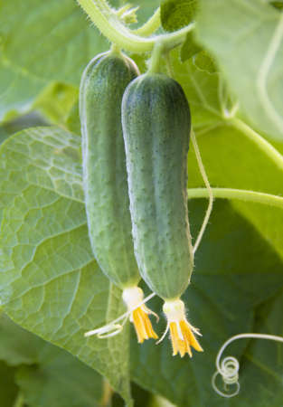 young Cucumber in the garden Stock Photo - 21176797