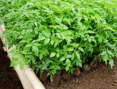 seedling: green seedling tomatoes in the garden
