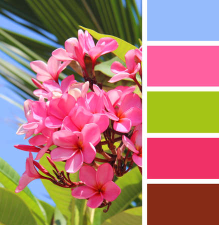 color palette: Blooming pink plumeria.  color palette swatches. Stock Photo