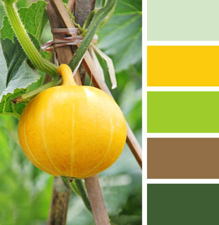 large pumpkin: Hanging beautiful large pumpkin on the field.  color palette swatches.