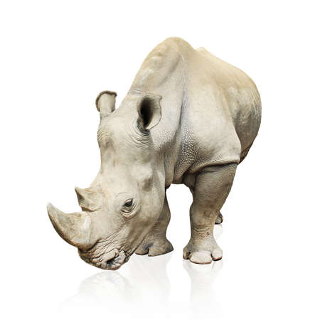 animal in the wild: Rhinoceros isolated on white Stock Photo