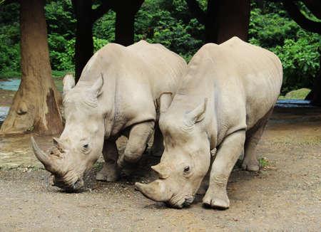 sumatra: a pair of big rhinoceros
