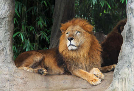 Lion resting on a tree Stock Photo