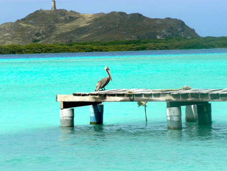 Pelican: Pelican in a little sock in Los Roques Stock Photo
