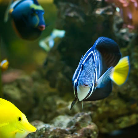 sailfin: A Pacific Sailfin Tang fish (Zebrasoma veliferum) swimming along a coral reef.