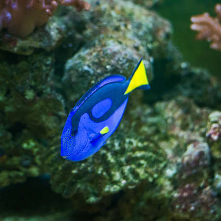 surgeon fish: Blue tang (Paracanthurus hepatus), a number of common names are attributed to the species, including Palette surgeonfish, Regal tang