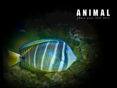 zebrasoma: Sailfin Tang fish Stock Photo