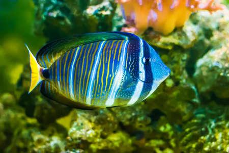 Sailfin Tang fish 写真素材