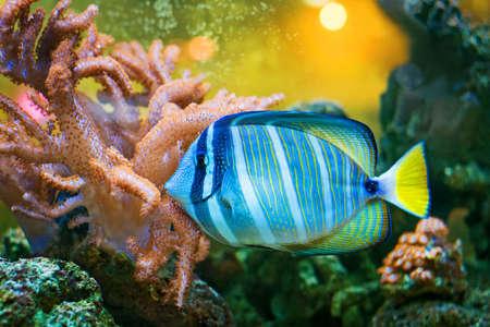 Sailfin Tang fish 版權商用圖片