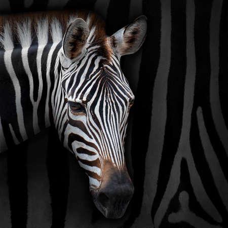 zebra stripes: Close-up zebra with background zebra stripes.