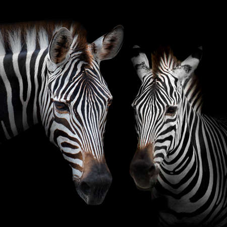 Close-up Two zebras with a black background.