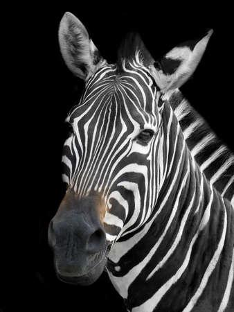 zebra portrait 版權商用圖片