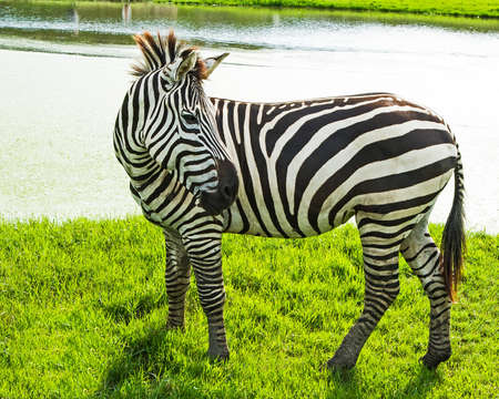 behind the scenes: Zebras at the zoo feed in the evening. There is a lake behind the scenes Stock Photo