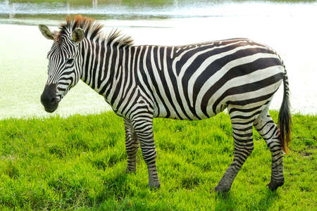 burchell: Zebra is standing