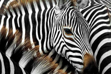 Nahaufnahme von einem Zebra, umgeben von schwarzen und weißen Streifen in seine Herde