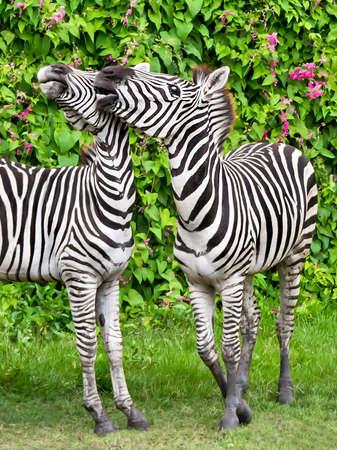 to tease: Young zebra zoo tease play. Stock Photo