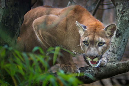 Mountain lion; puma prey on the staring twigs of the forest.