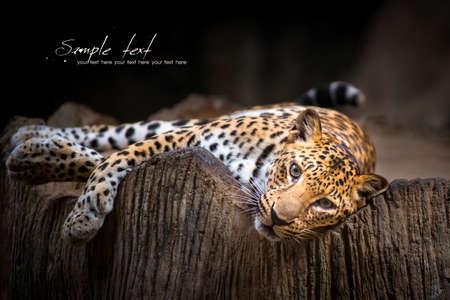 Indochinese Leopard 스톡 콘텐츠