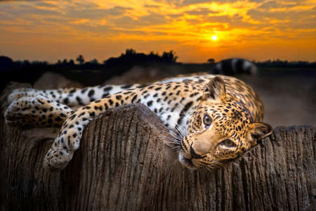 Indochinese Leopard looking something on the rock with beautiful sky at sunset time
