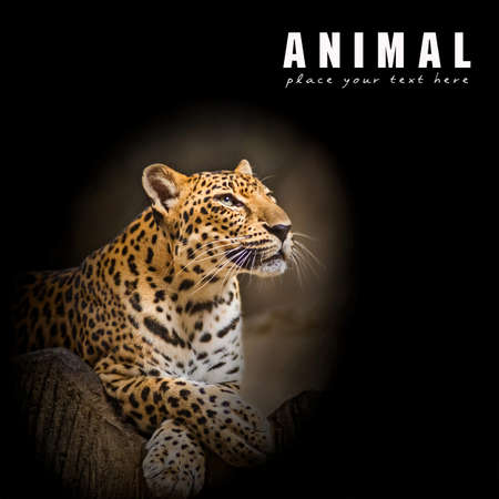 leopard head: Leopard, Baby Leopard was walking toward the victim. Stock Photo