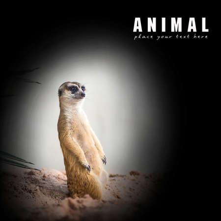 suricata suricatta: Meerkat (Suricata suricatta)