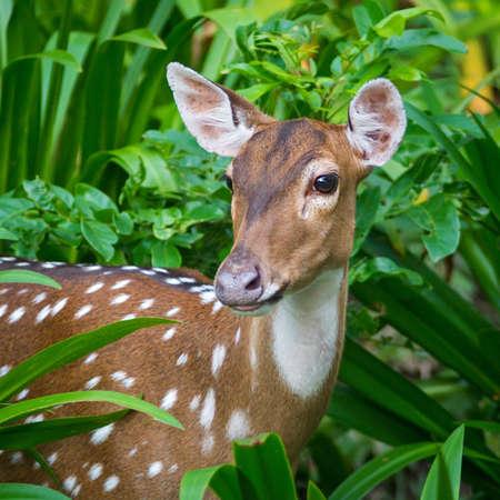 sika deer: Close-up Sika Deer