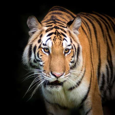 sumatran tiger: Tigre di Sumatra Roaring