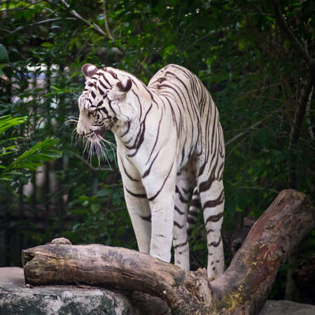 then: White Tiger, waking up then deflections stretch oneself.