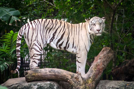White tiger in a zoo stood looking people. Stock Photo