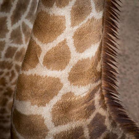 Close up neck Giraffe photo