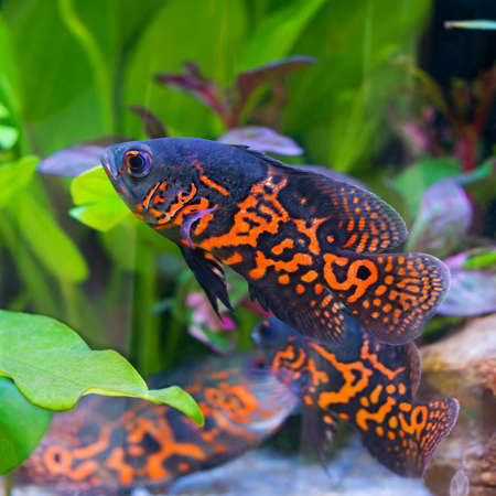 cichlasoma: Oscar fish (Astronotus ocellatus) - huge cichlid close up photo on biotope