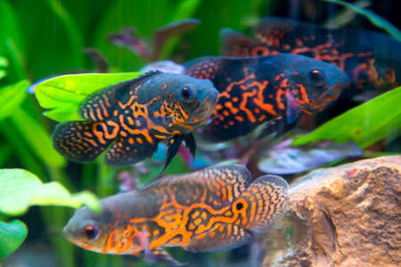 ocellatus: Oscar fish in Aquarium, Astronotus ocellatus. aquarium with green plants, snag and stones. isolated fish close up. Stock Photo