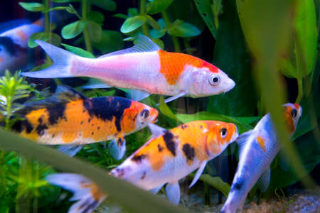 koi fish pond: The colorful koi fishes or golden fish swim carefree in the aquarium. Stock Photo