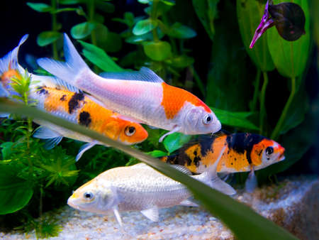fish pond: The colorful koi fishes or golden fish swim carefree in the aquarium. Stock Photo