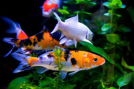 Koi fish swimming in the fishbowl