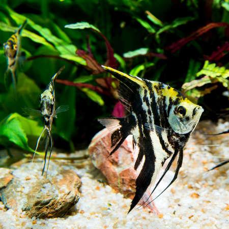 tropical fresh water fish: Marble angel fish