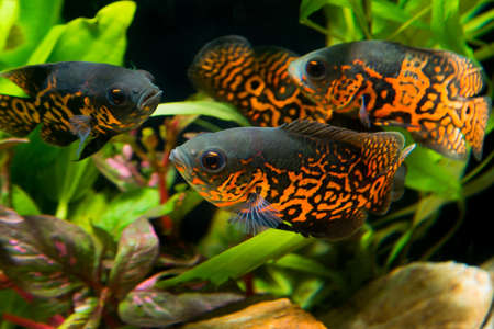 biotope: Oscar fish (Astronotus ocellatus) - huge cichlid close up photo on biotope