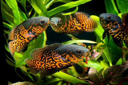 astronotus: Oscar fish in Aquarium, Astronotus ocellatus. aquarium with green plants, snag and stones. isolated fish close up. Stock Photo