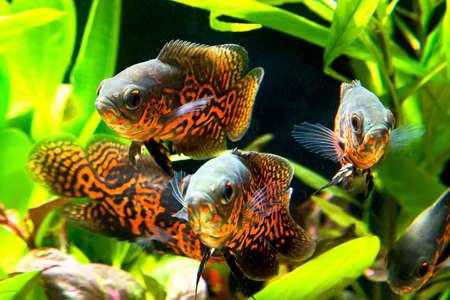freshwater fish: Oscar fish (Astronotus ocellatus) - huge cichlid close up photo on biotope