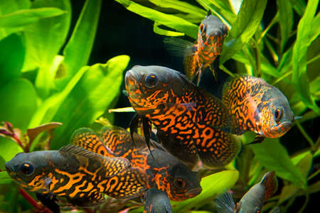 Oscar fish (Astronotus ocellatus) - huge cichlid close up photo on biotope